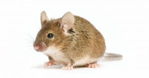 Rat Menace- Getting Rid of the Pests in the House