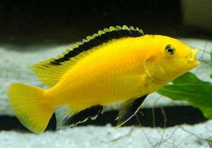 Why Do People Find The Yellow Lab Cichlids Dangerous?